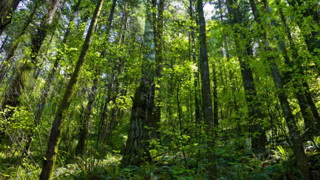 Verde foresta con albero di Abete di Douglas