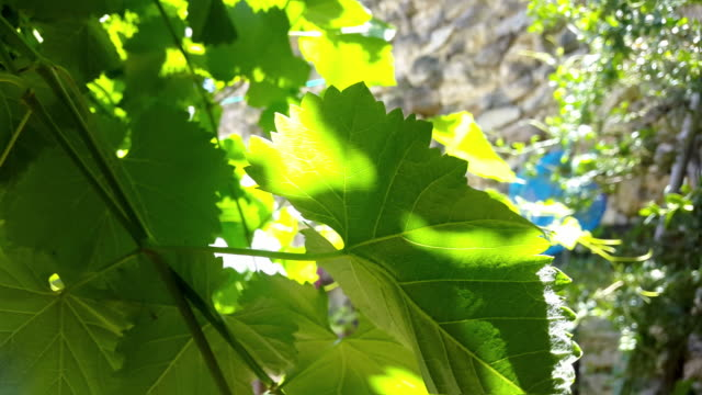 green grapes leafs with sunlight at the backyard of a home