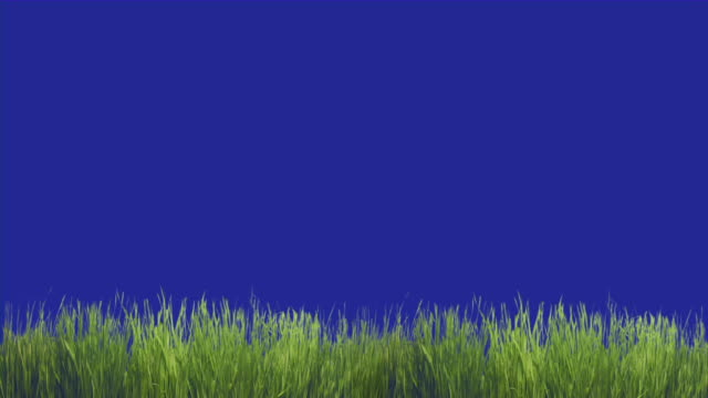 Green grass moving in foreground. Blue screen chroma key