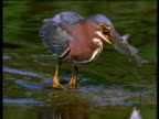 Green heron catches large fish in pond, wades out and swallows it whole