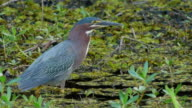 Green Heron in swamp, catches dragonfly out of air, Caddo Lake, on the Texas/Louisiana border