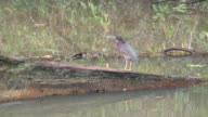 Green heron on the shore