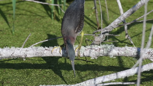 Green Heron Searching for Food