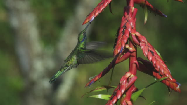 MS Green Hummingbird hovers and feeds from red flower spike moving round flowers
