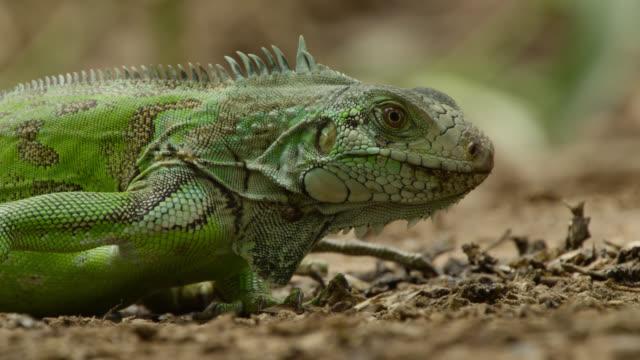 Green iguana (Iguana iguana) feeds on giant otter spraint at latrine site.