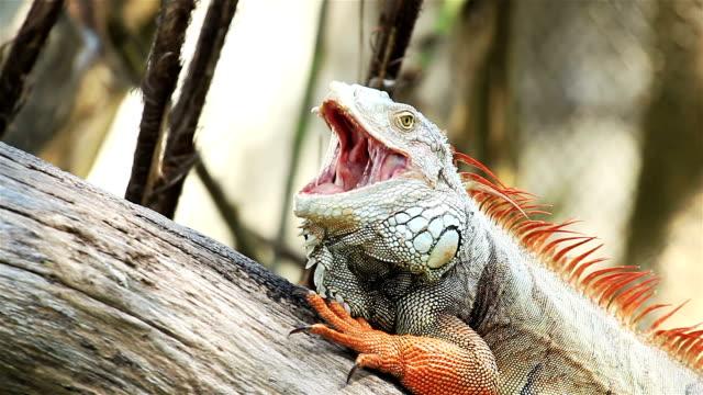 Iguana verde rilassante