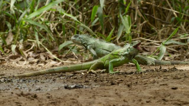 Green iguanas (Iguana iguana) feed on giant otter spraint at latrine site.