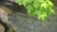 HD: Green Japanese Maple