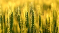 Green Kansas Wheat Closeup