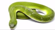 green keelback snake