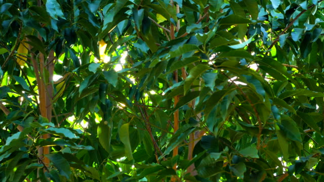 Green Leaves of Tropical Tree with Morning Sunlight