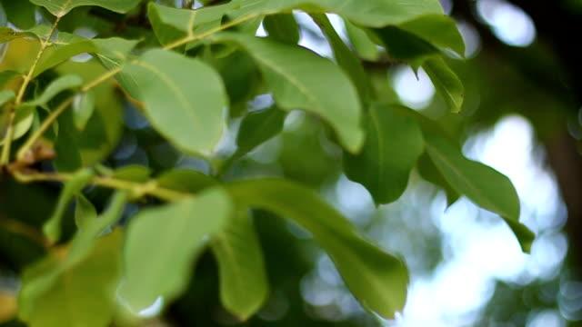 Green nut tree leaves
