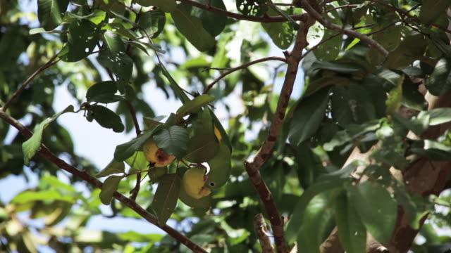 Green parrot feeding