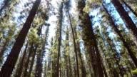 Green pine forest wonderland
