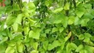 Green pods of kidney bean in the garden VIDEO