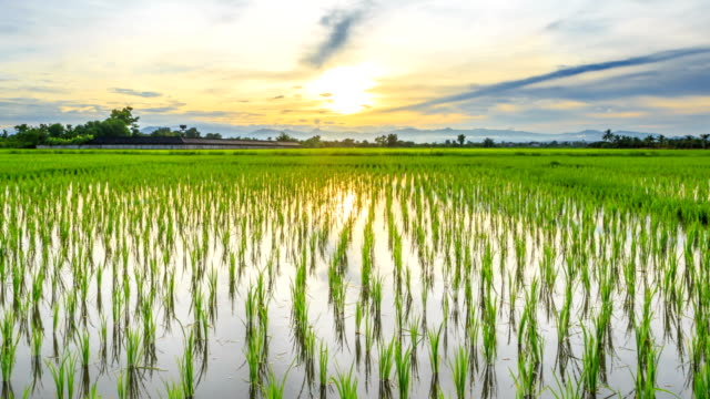 Green rice field and sunset, Time lapse HD.