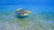 Green Sea Turtle and Remora Fish swimming on Seagrass bed in Red Sea / Marsa Alam