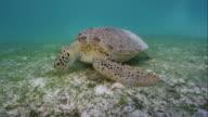 Green Sea Turtle eating sea grass