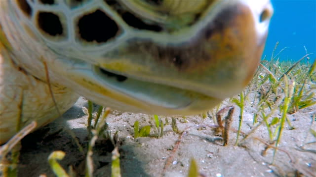 Green Sea Turtle grazing on seagrass bed / Red Sea
