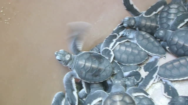 Green sea turtle hatching in conservation center of Sangalaki, Indonesia