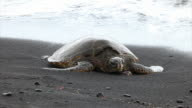 Green sea turtle in Black beach, Hawaii