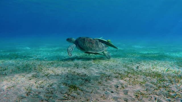 Grön havssköldpadda som simmar i Röda havet