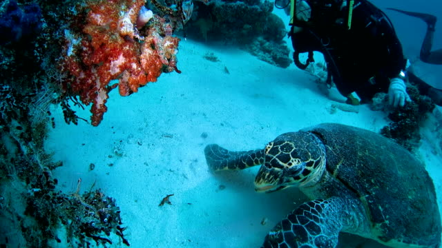 Green sea turtle using its fins to bite soft coral