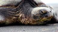 Green sea turtles in Black beach, Hawaii