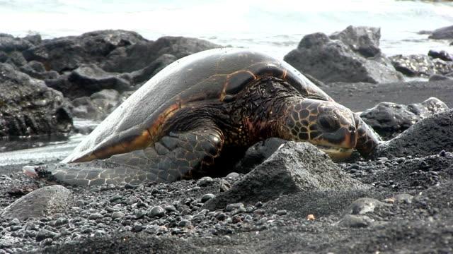 Grünen Meeresschildkröten in Black beach, Hawaii