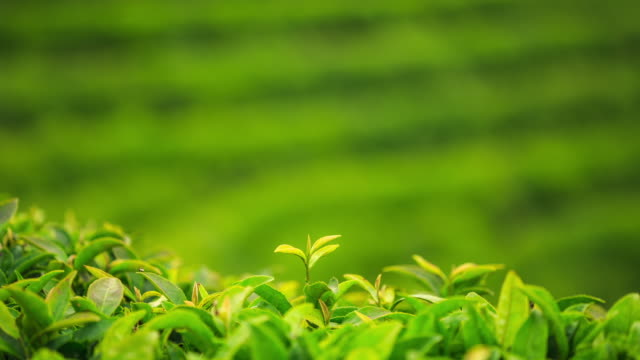 [Obrazek: green-tea-leaves-at-boseong-tea-village-...?s=640x640]