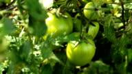 CU green tomatoes on farm, KwaZulu Natal, South Africa