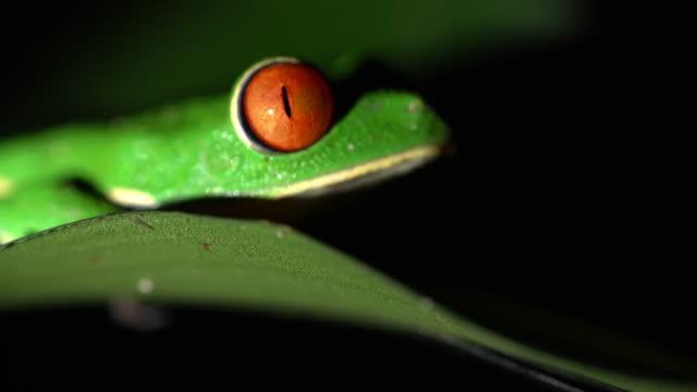 CU groene boomkikker op een blad