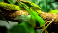 Green tree python close up.