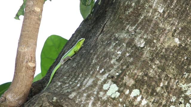 Green tree skink on trunk looks toward camera, wide