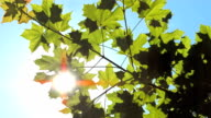 HD: Grüne Baumwipfel