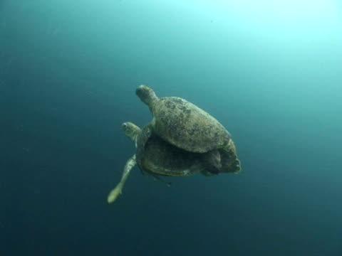 Green turtle (Chelonia mydas) pair mating, CU, Sipadan, Sabah, Malaysia, Borneo