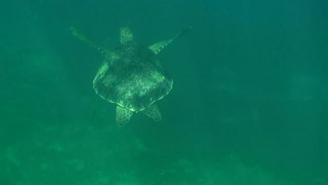 Green turtle swimming on caribbean sea