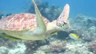 Green Turtle Swims in Coral Reef