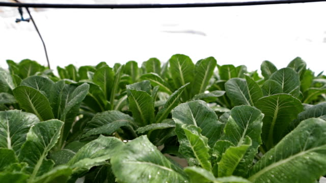 Green vegetables - Bok Choy in the farm