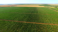Green vineyards in summer, aerial video