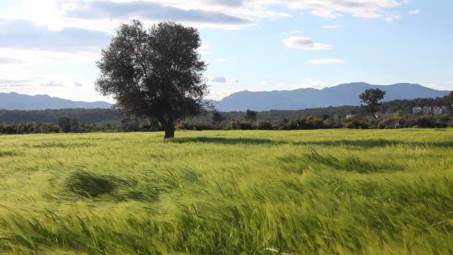 Green wheat field in heavy wind near Antalya, Turkey