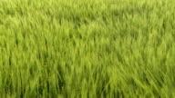 HD CRANE: Green Wheat Field