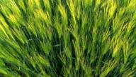 HD: Green Wheat Field