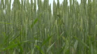 ZO CU green wheat in field / Brandenburg, Germany