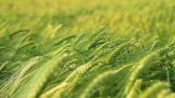 HD DOLLY: Green Wheat Stems Swaying In The Wind