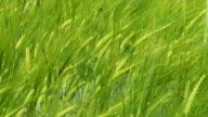 HD SLOW MOTION: Green Wheat Swaying In Breeze