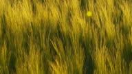 HD: Green Wheat Swaying In The Breeze