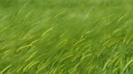 HD: Green Wheat Swaying In The Wind