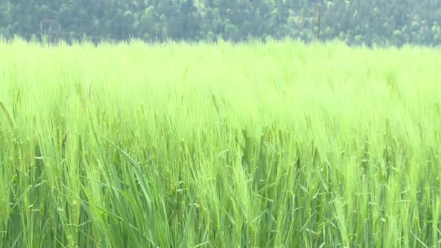 HD: Green wheat