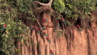WS Green-winged Macaws (Ara chloroptera) perching on clay formation as some fly away in Manu National Park / Peru